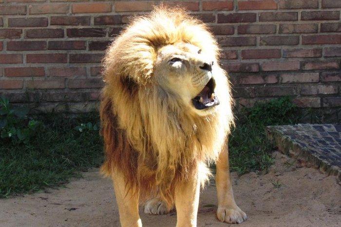 Morre Jerônimo, com 21 anos, o então único leão do zoológico de Sapucaia do Sul