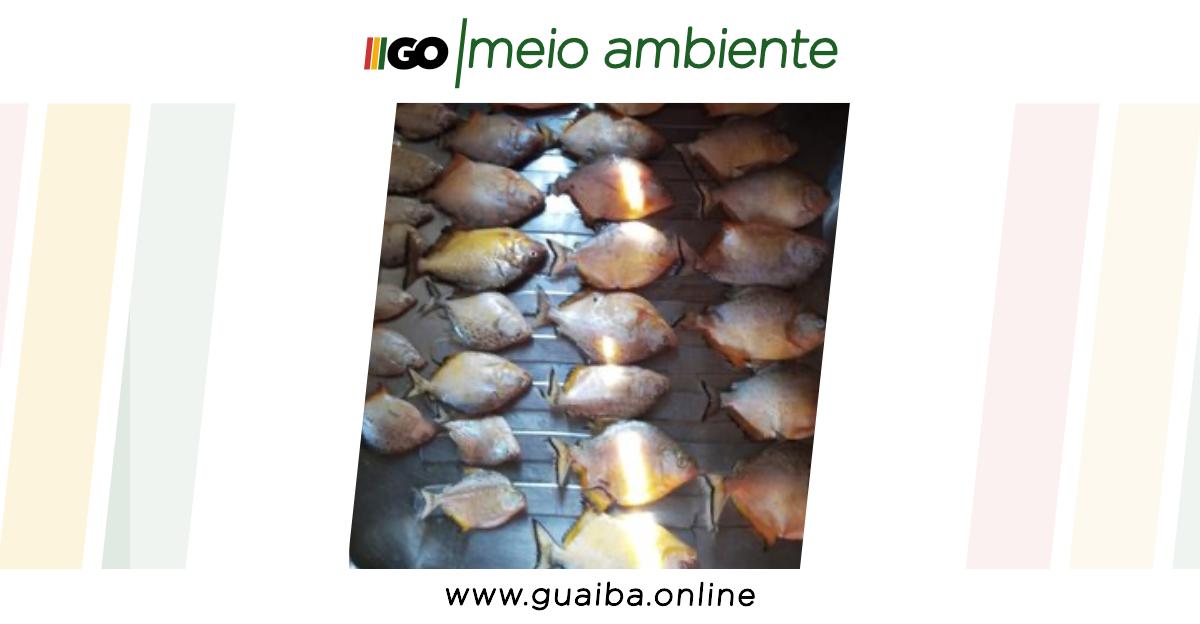 Piranhas que podem chegar ao Guaíba se proliferam em raio de 150 km entre Cachoeira do Sul e General Câmara